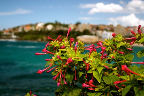 Pink flowers at Coogee Beach in Sydney, Australia
