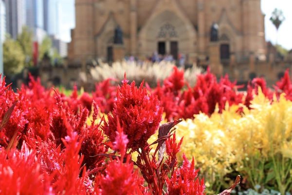 Red flowers outside the Cathedral in Sydney, Australia
