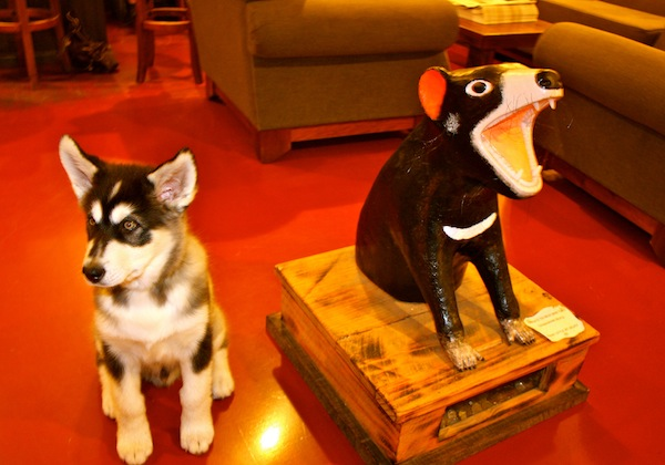 Puppy and Tasmanian devil at The Pickled Frog hostel, Hobart, Tasmania
