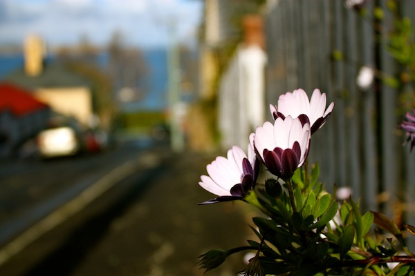 Flowers on the road in Hobart, Tasmania, Australia