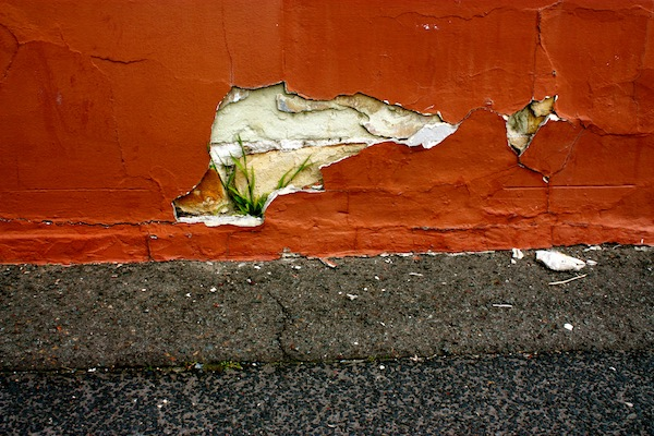 Flower growing through a wall in Hobart, Tasmania, Australia