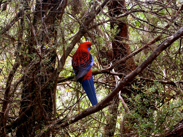Red and blue bird in Blue Mountains, New South Wales, Australia