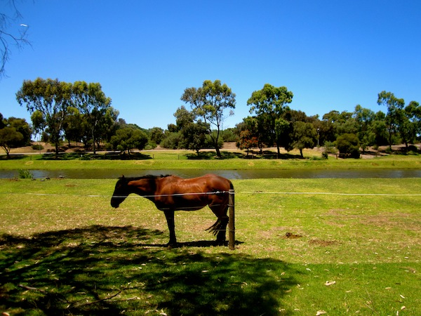 Horses along the river Torrens bike trail in Adelaide, Australia