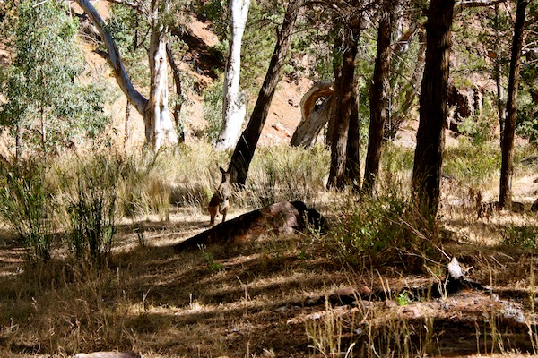 Kangaroos in Warren Gorge, South Australia, Nullarbor Traveller