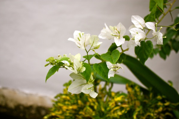 White flowers on white wall, Seminyak, Bali, Indonesia