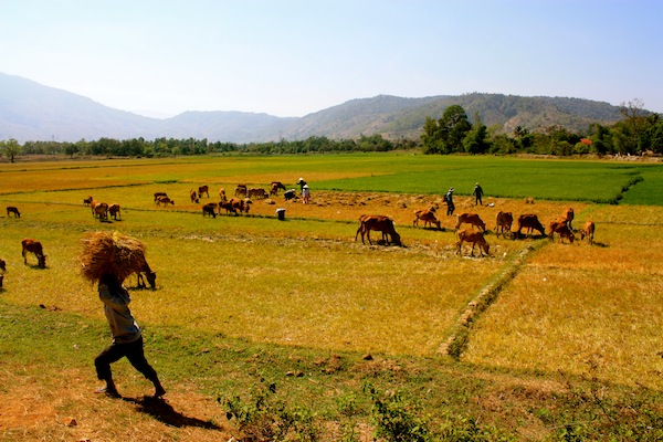 Cows grazing n the Central Highlands, Vietnam as seen from a motorbike