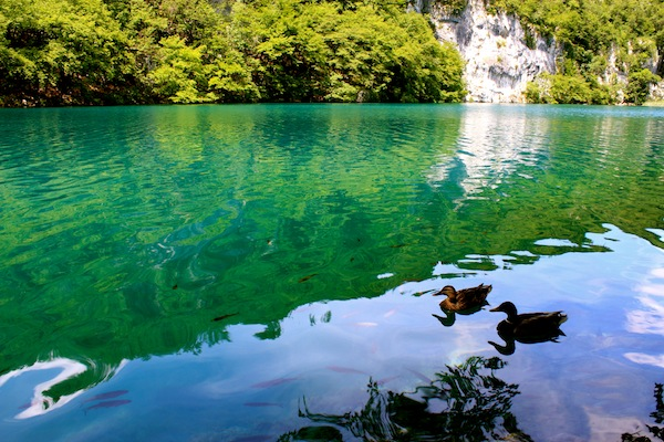 Ducks swimming in the clear blue waters of Plitvice Lakes National Park, Croatia