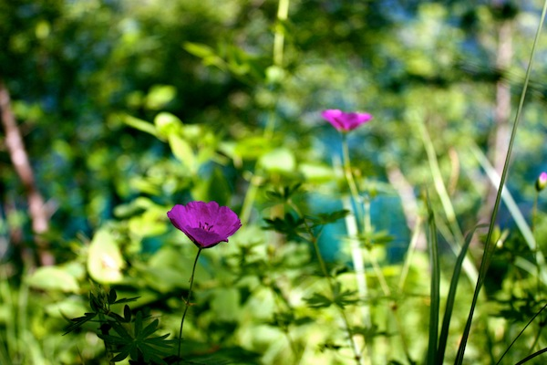 Purple flowers among the green in Plitvice Lakes National Park, Croatia