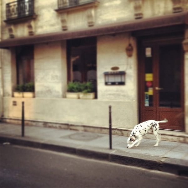 Dalmatian on the streets of the Marais in Paris, France via Instagram