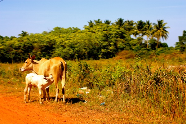A cow and her calf on the side of the road on Phu Quoc Island, Vietnam