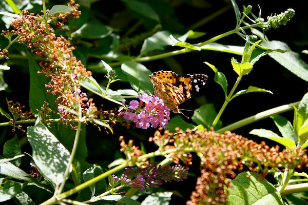 Orange butterfly on purple flower in Fort Tryon Park in Manhattan, New York City