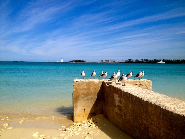 Seagulls of the Caribbean in Nassau, the Bahamas