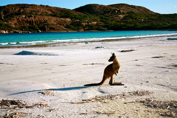 Kangaroo on Cape Le Grande Beach in Western Australia