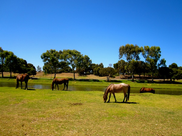 Horses along the bike trail to Glenelg in Adelaide, South Australia
