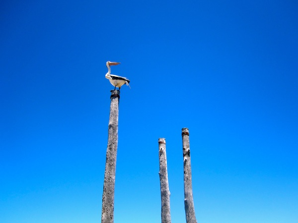 Pelican and blue sky on the beach in Glenelg, South Australia
