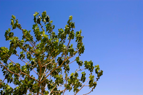 Olive tree and blue skies in Jordan