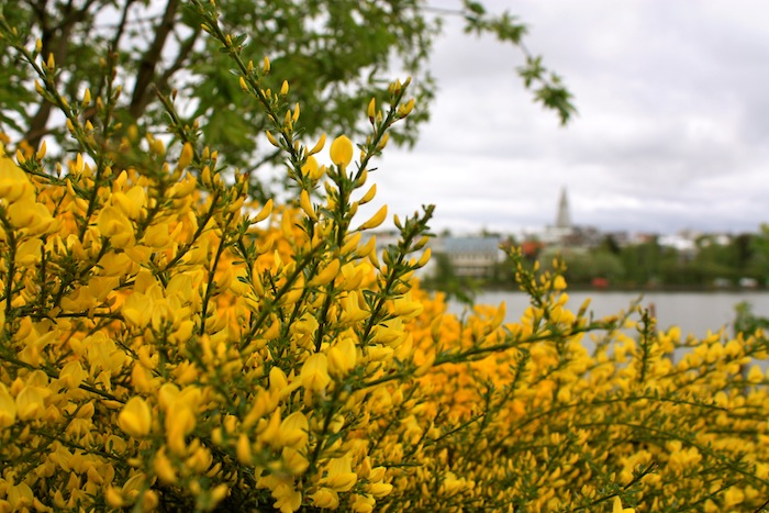 Yellow flowers in Reykjavik, Iceland
