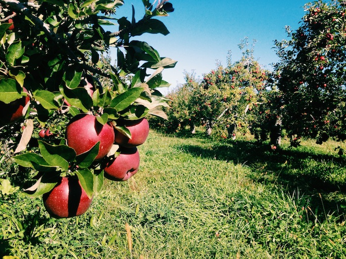 Goold Orchards in New York, Processed with VSCOcam with c1 presetProcessed with VSCOcam with c1 preset