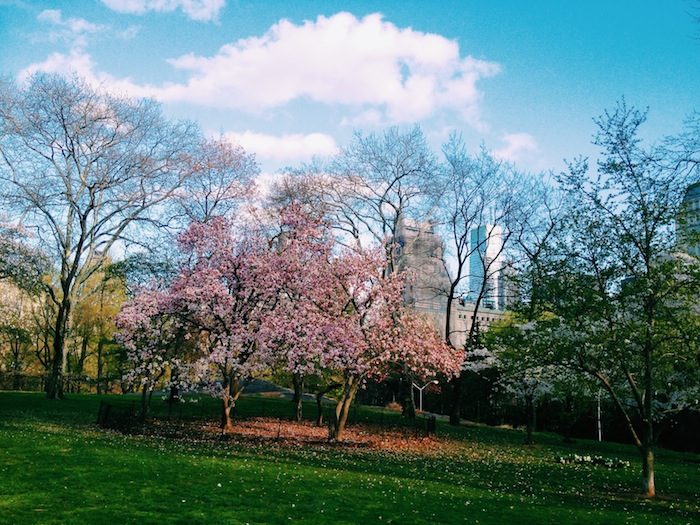 Tree blooming in spring at Central Park, New York City