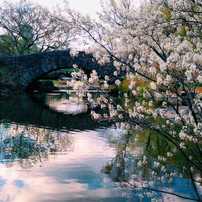 Springtime blooms and reflection in pond at Central Park, New York City