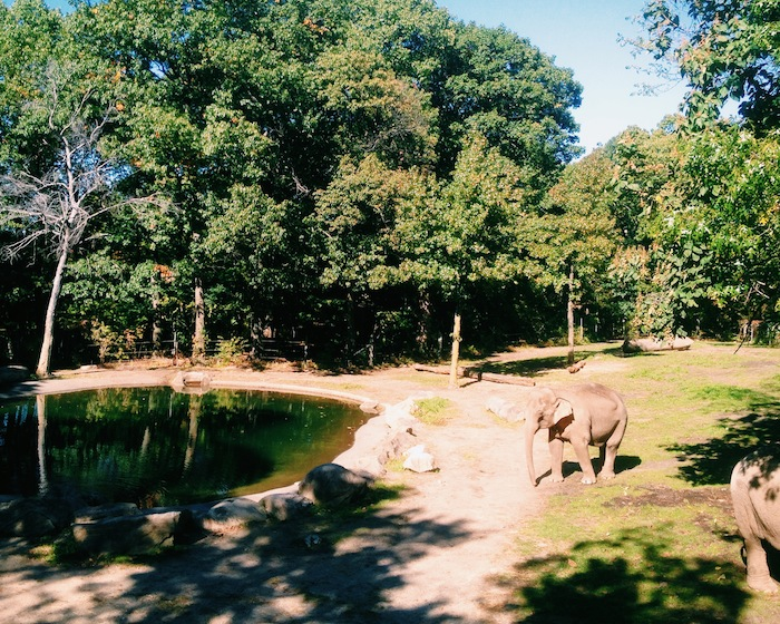 Elephants at the Bronx Zoo in New York City