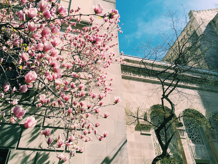 Magnolia tree blooming in New York City