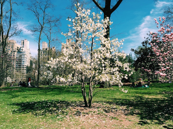 Central Park blooming in springtime in New York City
