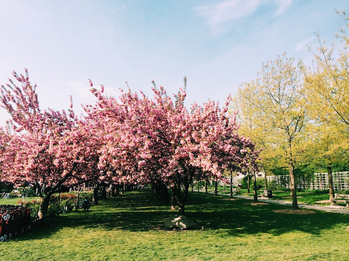 Cherry blossoms at Brooklyn Botanic Garden in spring