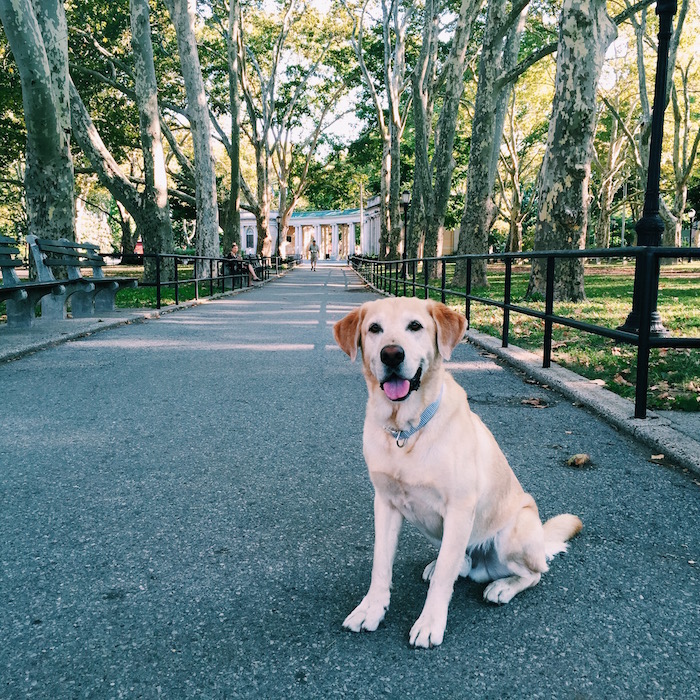 Prince the golden lab in Brooklyn