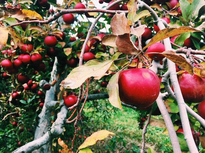 Goold Orchards in upstate New York, for apple picking