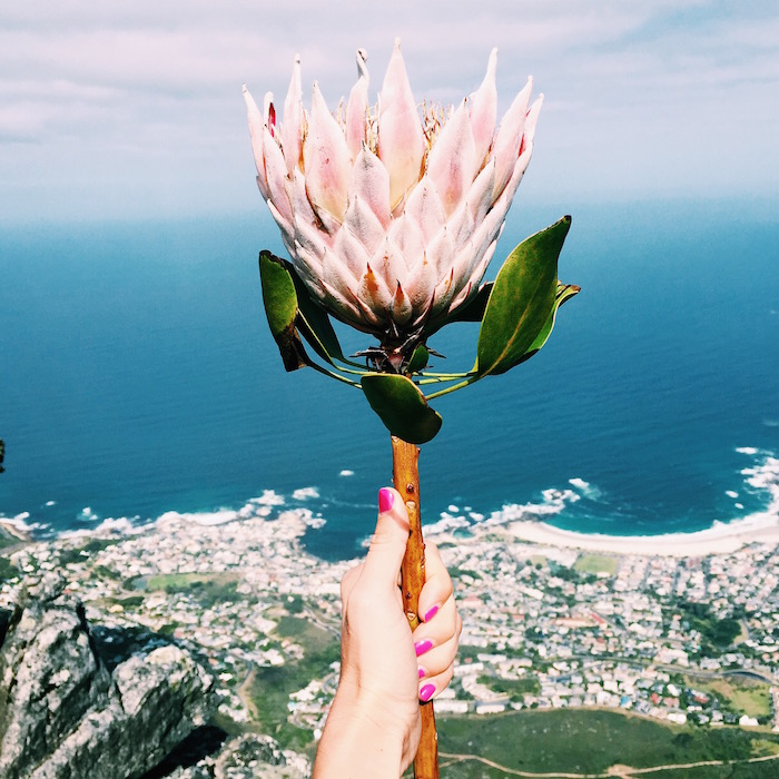 Protea on Table Mountain in Cape Town, South Africa