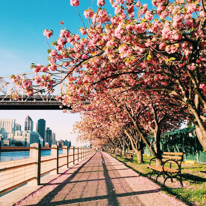Roosevelt Island cherry blossoms in New York City