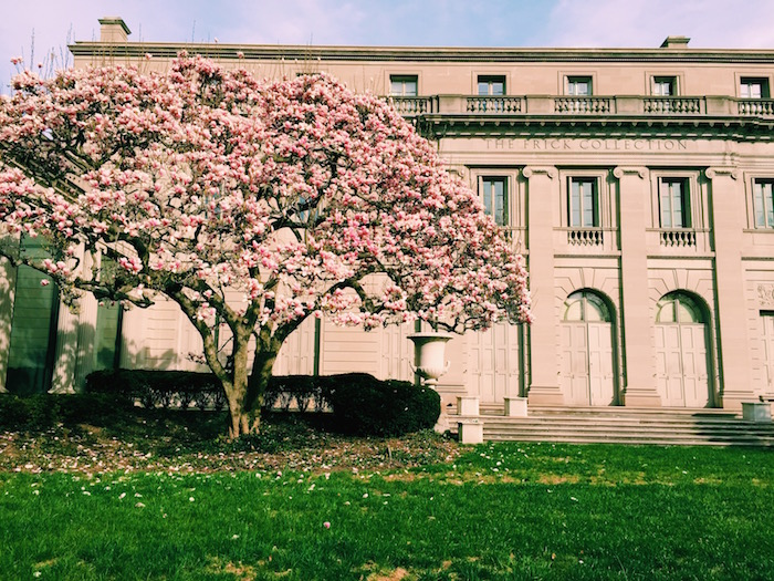 Magnolia trees at the Frick Collection in New York City