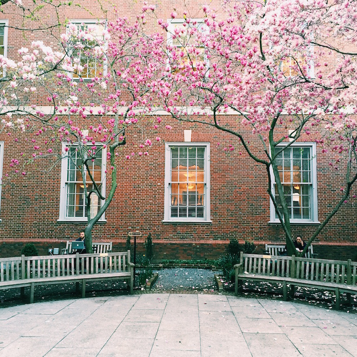 Trees blooming at New York University