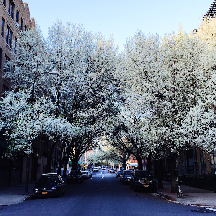 Trees blooming in Williamsburg, Brooklyn
