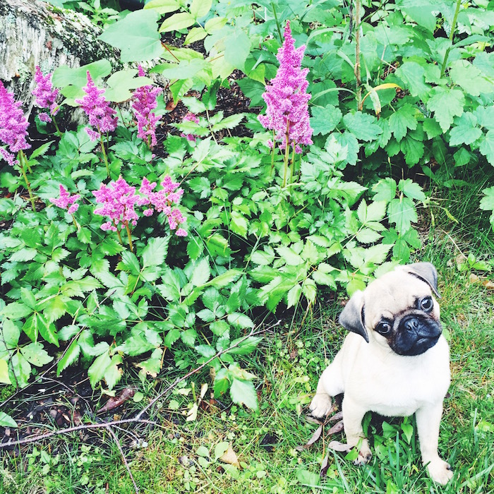 Gertie the pug in the Berkshires