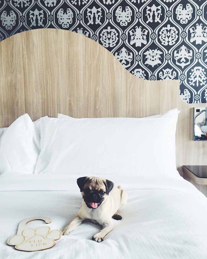 Gertie the pug visits The Time Nyack Hotel