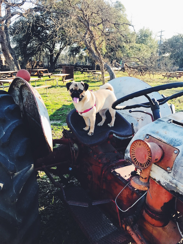Gertie the Pug at Salt Lick BBQ in Austin, Texas