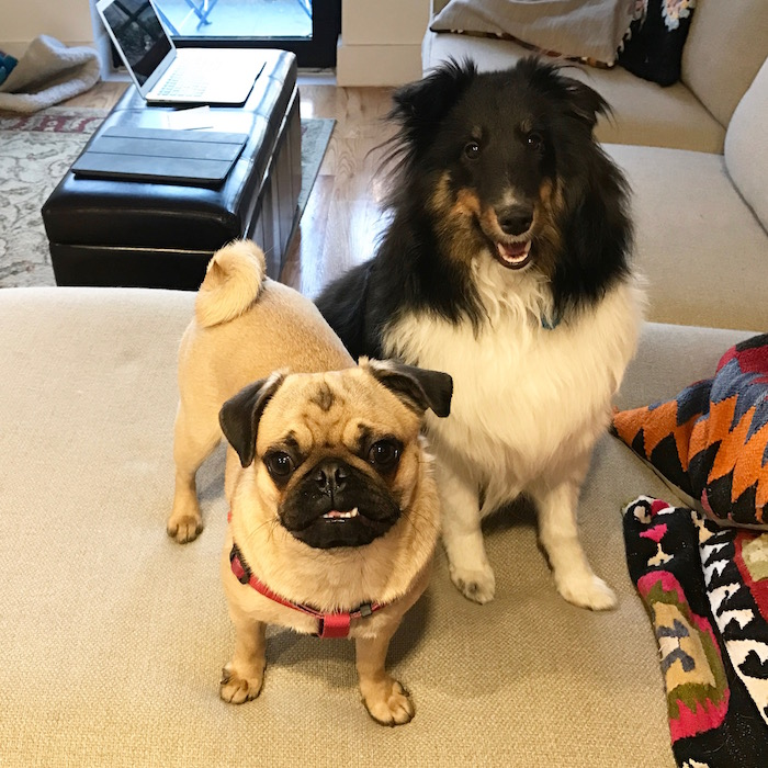 Gertie the Pug and Quinn the Sheltie