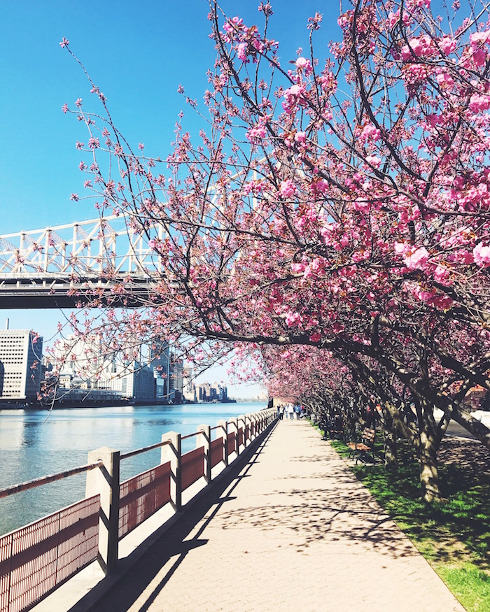 Roosevelt Island cherry blossoms in spring