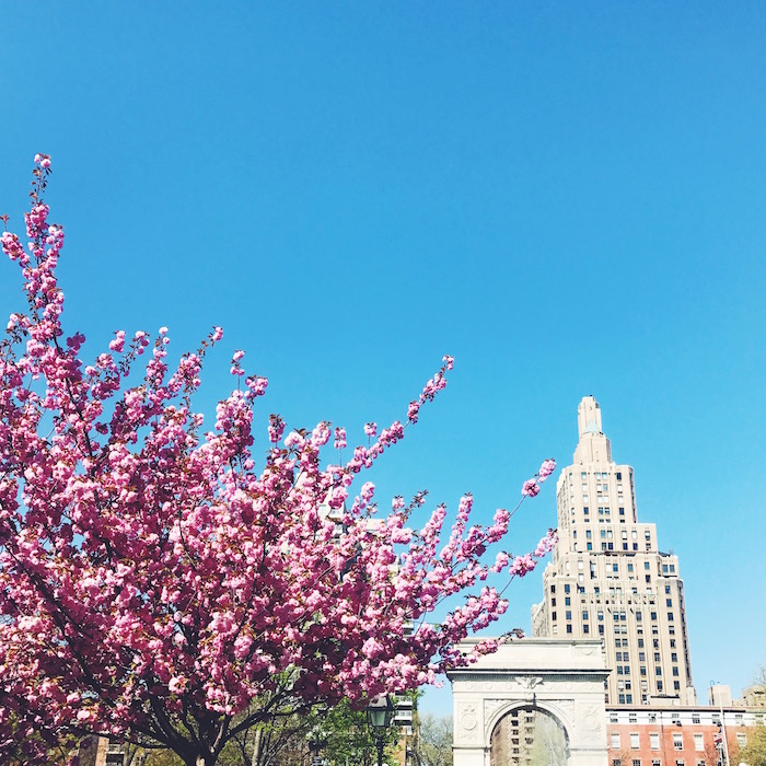 Cherry blossoms in Washington Square Park in New York City