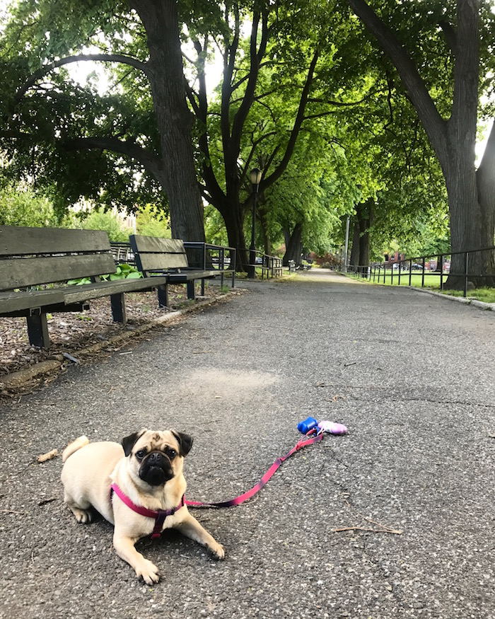 Gertie the Pug in Brooklyn, New York