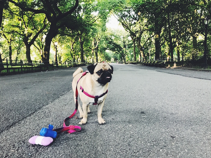Gertie the Pug in Central Park, New York City