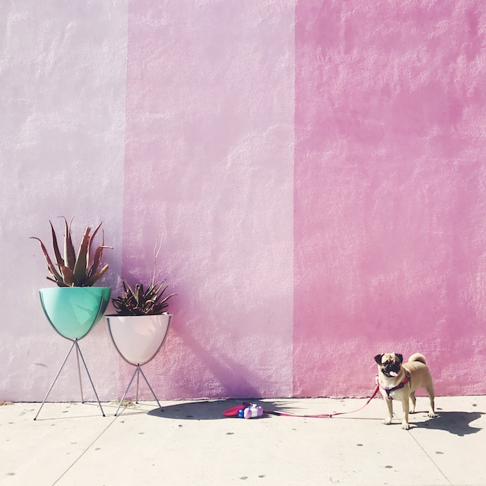 Gertie the Pug at Pigment San Diego