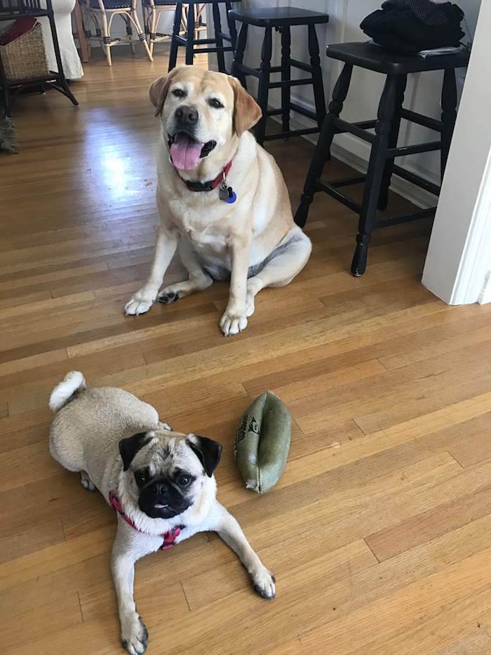 Gertie the Pug and Zoey the Golden Lab