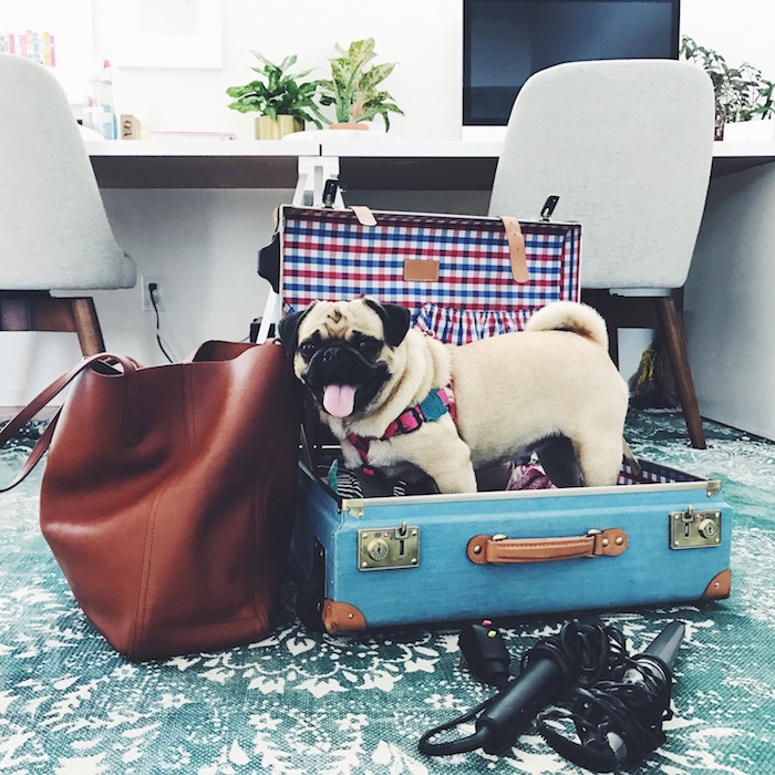 Gertie the Pug in Steamline Luggage