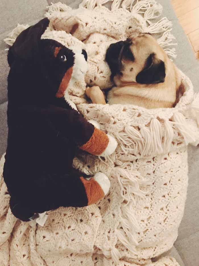 Gertie the pug and her stuffed Bernese