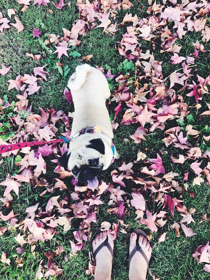 Gertie the Pug in San Diego fall