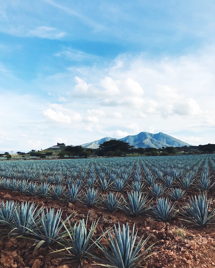 fields of blue agave in Tequila