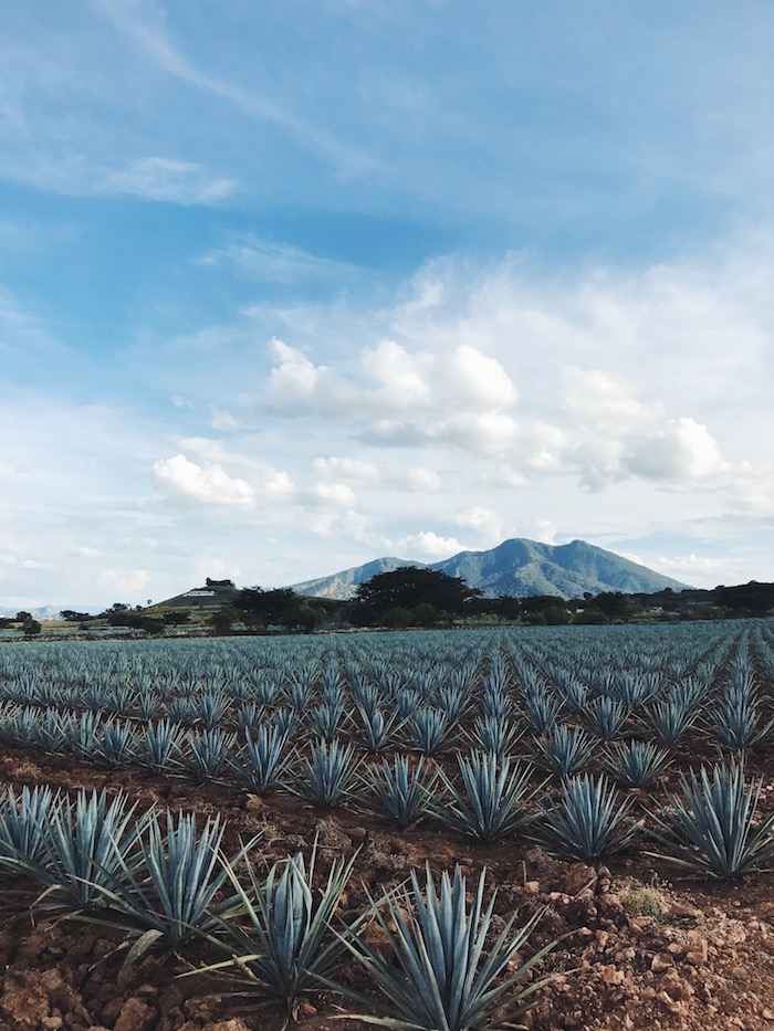 Fields of blue agave in Tequila, Mexico